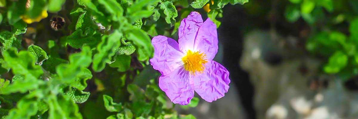 Labdanum - skalní růže, získávání esenciálního oleje
